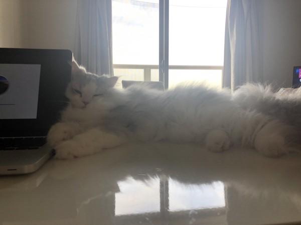猫 サイベリアン マミの写真