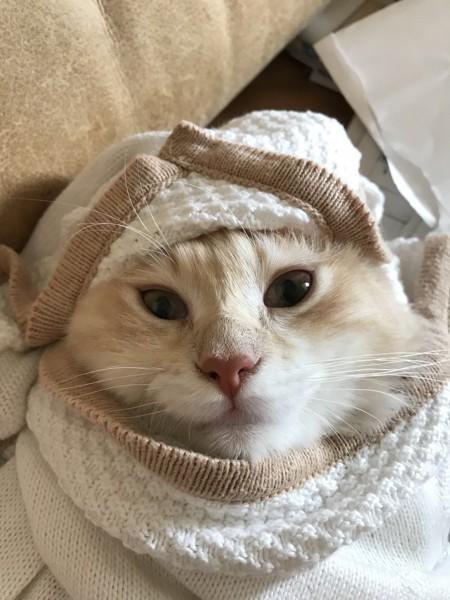 猫 マンチカン ジョジョの写真