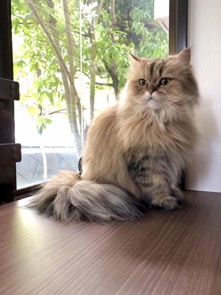 猫 チンチラペルシャ ファーファの写真