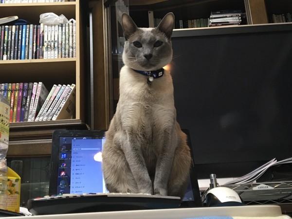 猫 オリエンタルショートヘア もんちゃんの写真