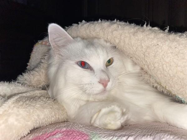 猫 白猫 おみの写真