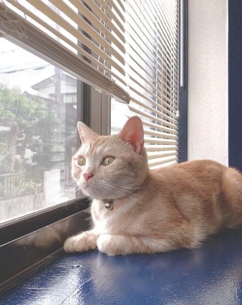 猫 アメリカンショートヘア mocaの写真