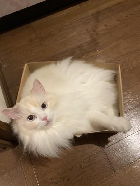 猫 ラグドール きびちゃんの写真