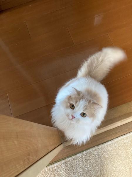 猫 スコティッシュフォールド つぼみの写真
