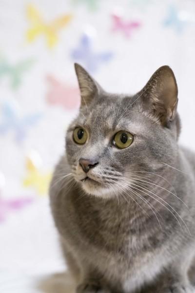 猫 雑種(ミックス) なつの写真