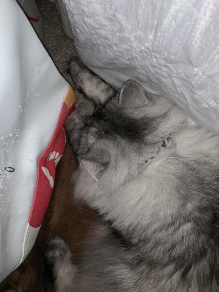 猫 ペルシャ モコ君の写真