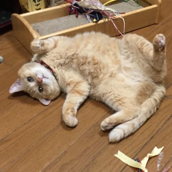 猫 茶トラ 杏(あん)ちゃんの写真