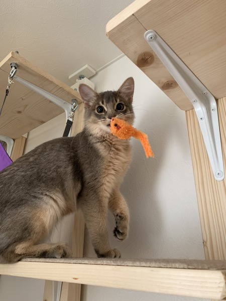 猫 ソマリ リズちゃんの写真