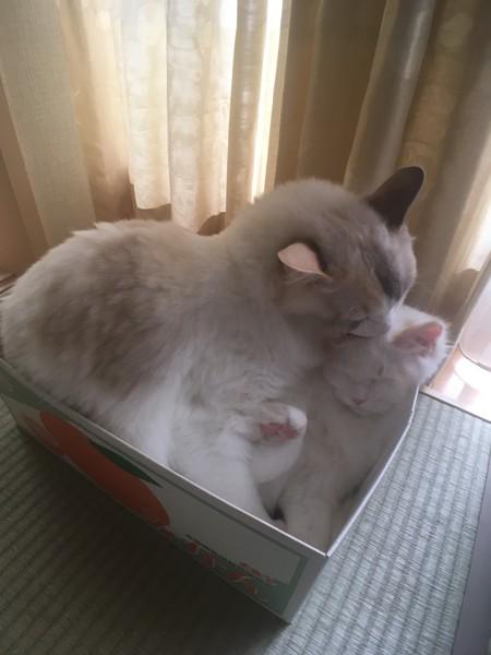 猫 ラグドール ロージー & タンザの写真