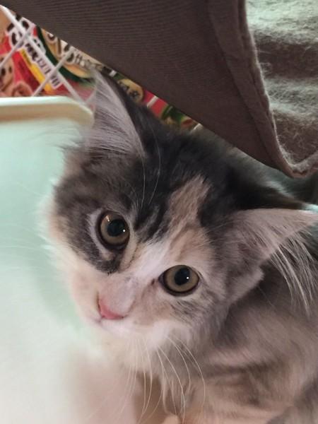猫 メインクーン メイちゃんの写真