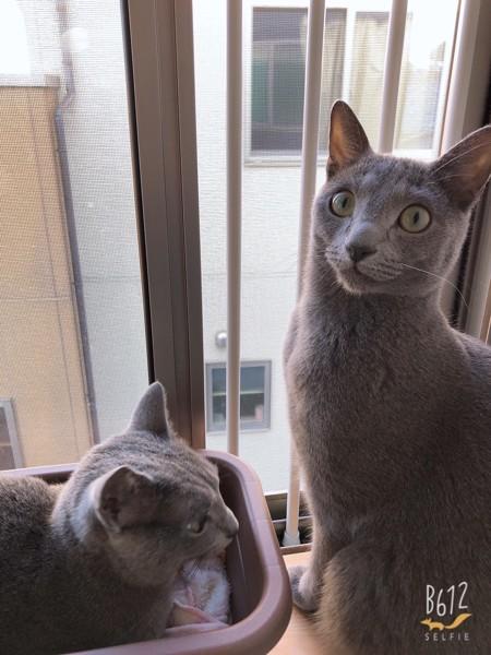 猫 ロシアンブルー 🐈すけぞ〜ぺぐぞーの写真