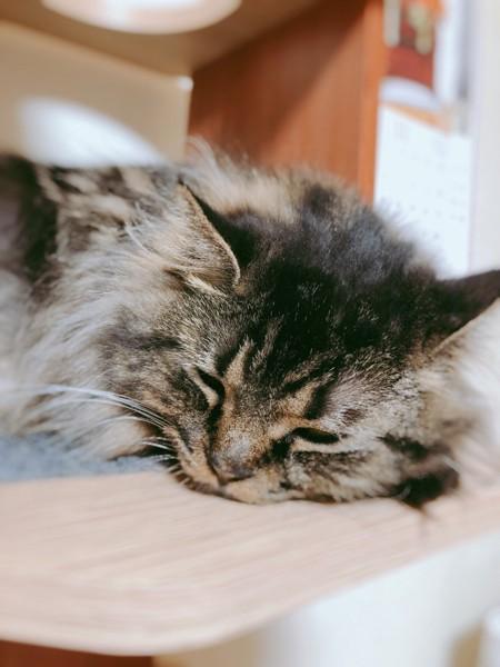 猫 マンチカン あめの写真
