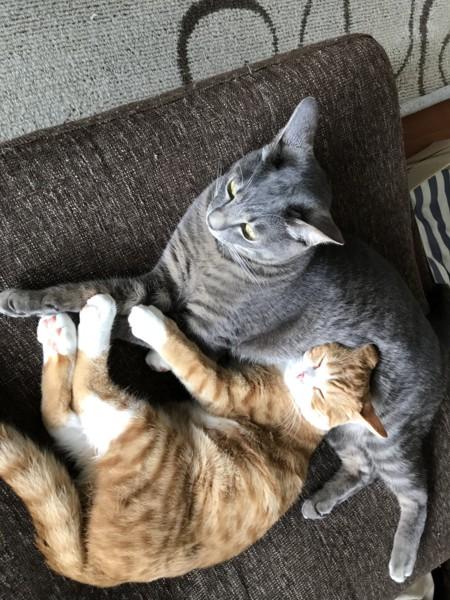 猫 雑種(ミックス) サイヤ/カリンの写真