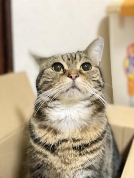 猫 アメリカンショートヘア もかの写真