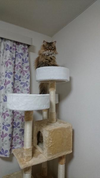 猫 ソマリ カーリーの写真