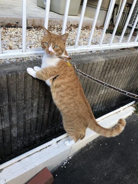 猫 茶白トラ マイケルの写真
