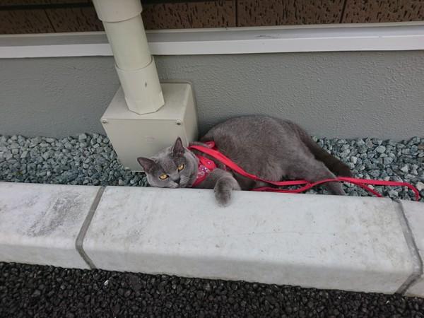猫 ブリティッシュショートヘア リリーの写真