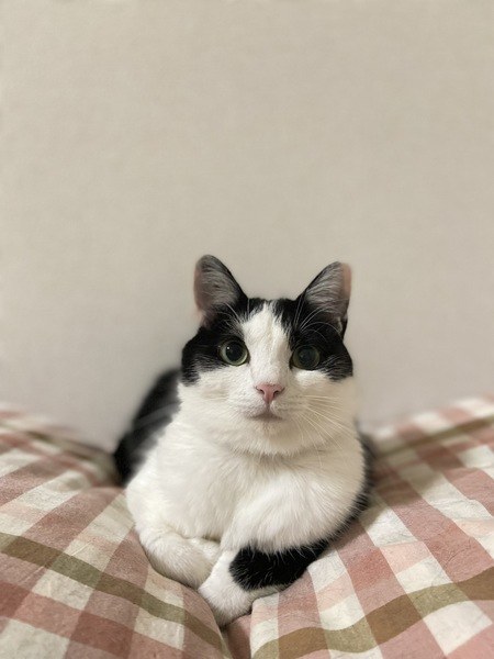 猫 黒ブチ ごましおの写真