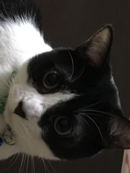 ハチワレの猫