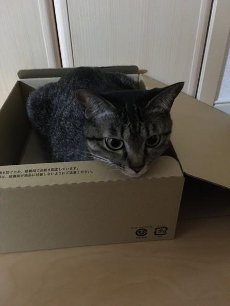 猫 キジトラ 牡丹の写真