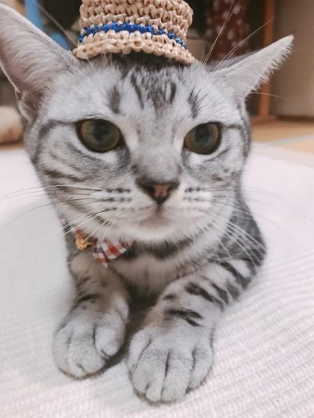 猫 アメリカンショートヘア キキの写真