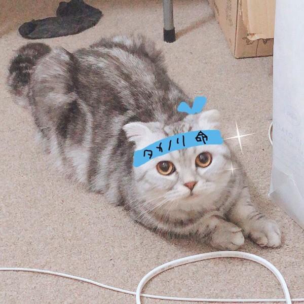 猫 スコティッシュフォールド イルくんの写真