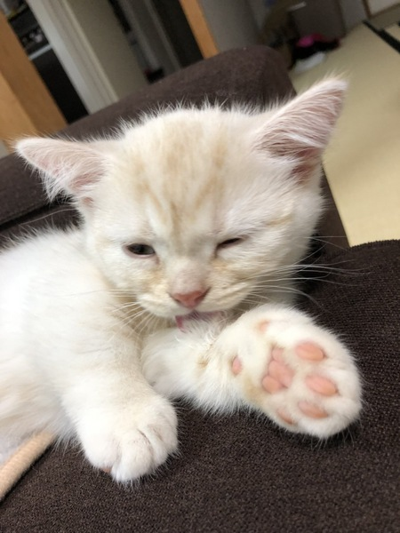 猫 マンチカン ポテくんの写真
