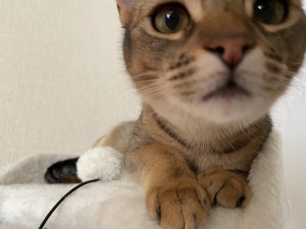 猫 アビシニアン むぎの写真