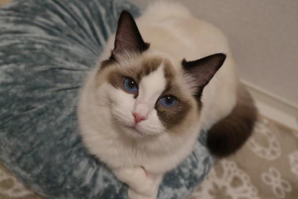猫 ラグドール しらすの写真