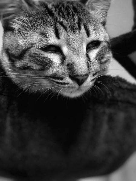 猫 キジトラ 茘枝(らいち)の写真