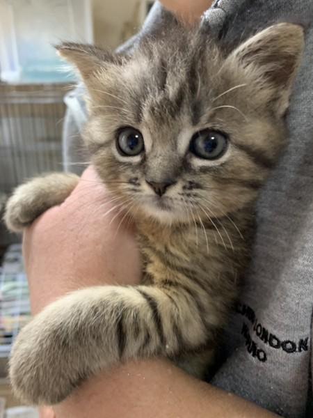 猫 スコティッシュストレート はるるの写真