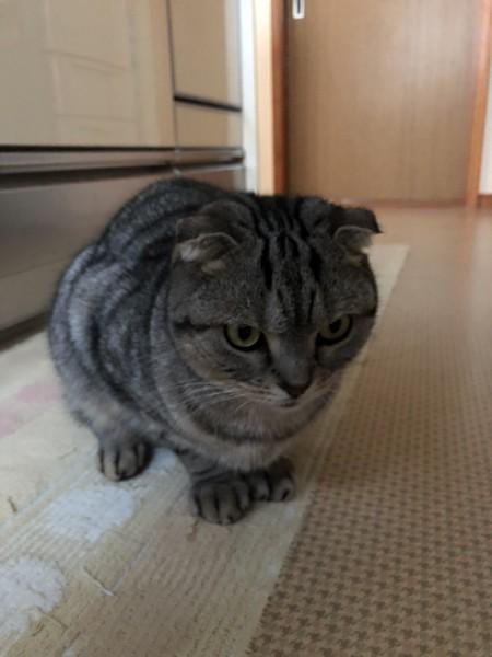 猫 スコティッシュフォールド ラリーの写真
