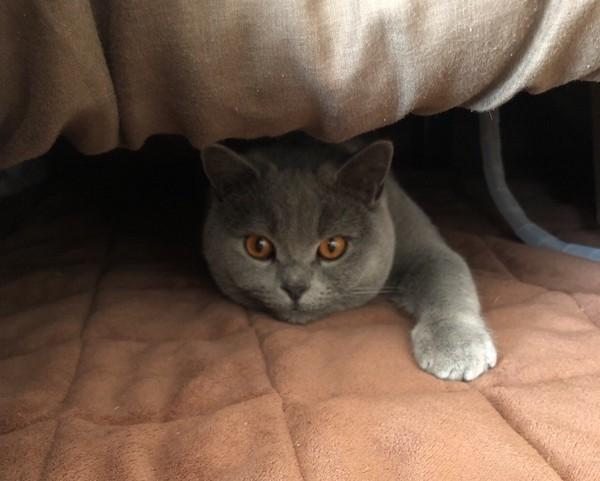 猫 ブリティッシュショートヘア サクちゃんの写真