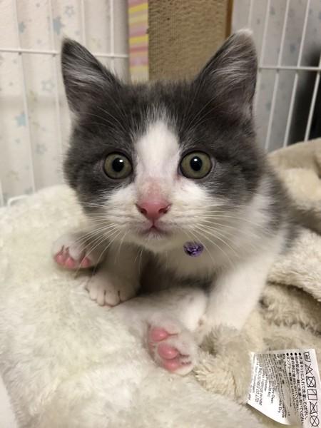 猫 日本猫 かんぱちの写真