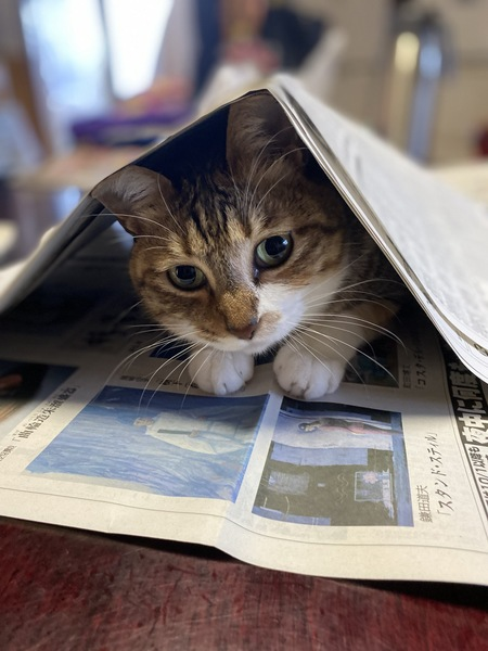 猫 キジトラ すずの写真
