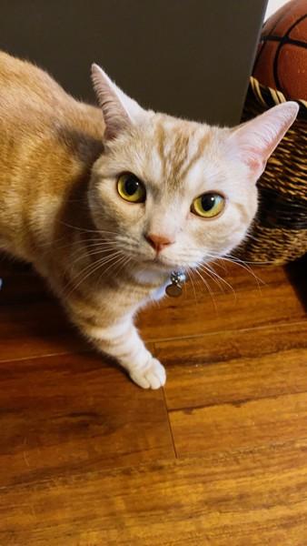 猫 アメリカンショートヘア ジロウの写真
