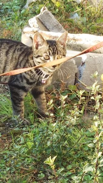 猫 メインクーン マリーちゃんの写真