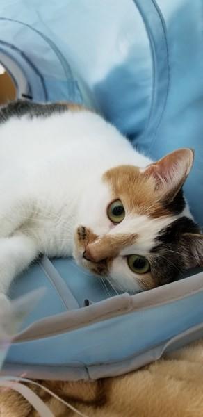 猫 三毛猫 むぎの写真