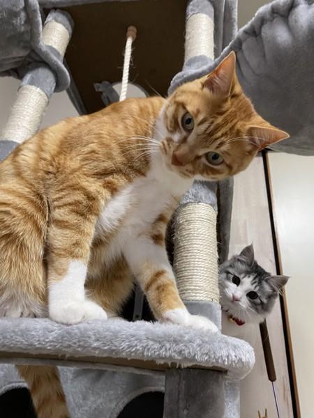 猫 キジシロ まるるの写真