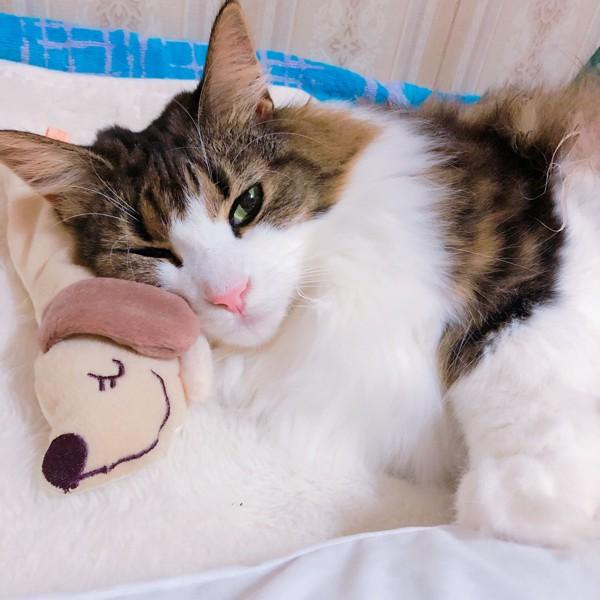 猫 ノルウェージャンフォレストキャット 蘭ちゃんの写真