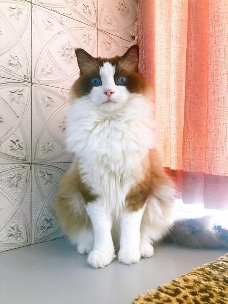 猫 ラグドール オズワルドの写真