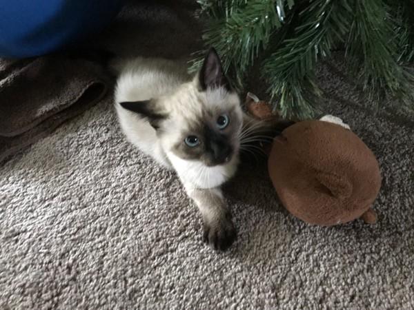 猫 シャム ツキ・ダイヤモンドの写真
