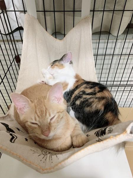 猫 茶トラ ココ、マメの写真