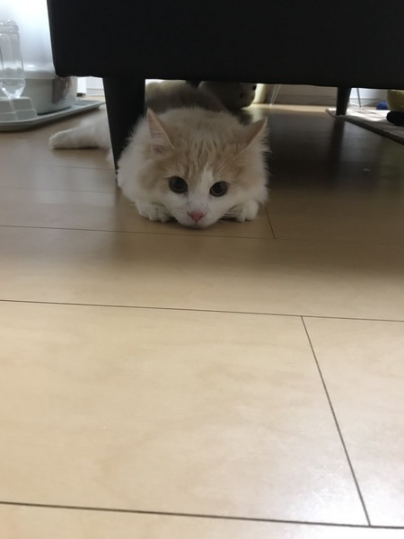 猫 ノルウェージャンフォレストキャット どるるの写真