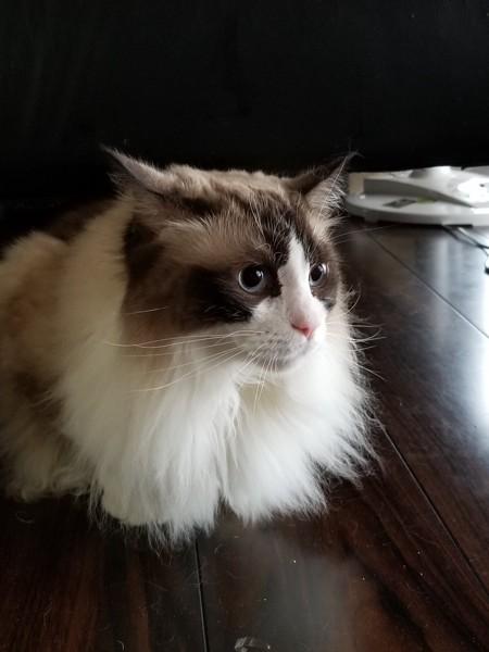 猫 ラグドール 空の写真
