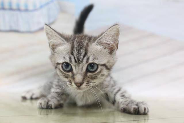 猫 マンチカン れおんの写真