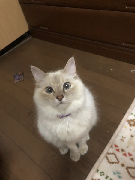 猫 雑種(ミックス) ナナの写真