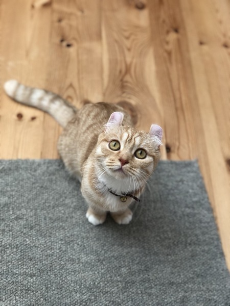 猫 キンカロー らいおんまるの写真