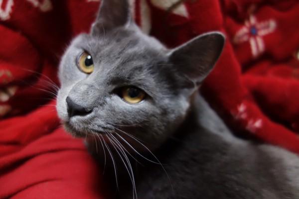猫 ブリティッシュショートヘア グレイスの写真