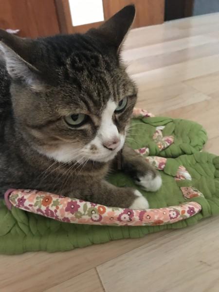 猫 キジトラ うめの写真